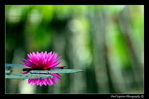 Balboa Pond Lily part deux.
