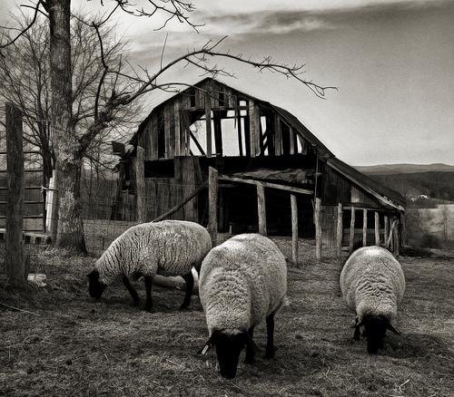 Princeton Sheep