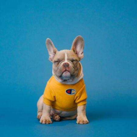 brown french bulldog wearing yellow shirt
