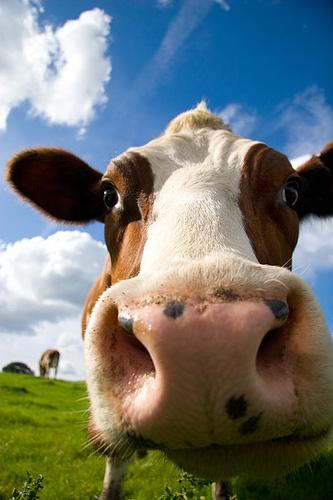 When bovines attack :-)