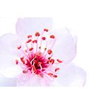 High Key Sakura Blossom