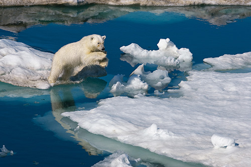 A young polar bear leaps between ice floes. Barents Sea, Svalbard, Norway