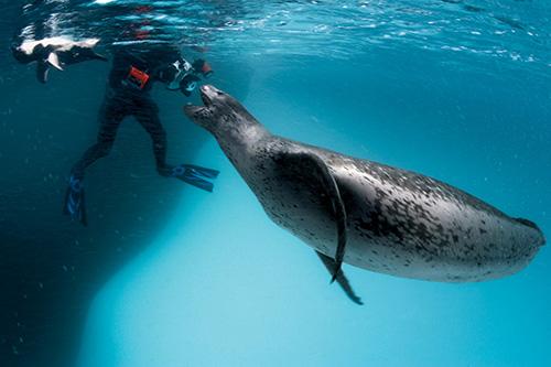 A large female leopard seal greets photographer Göran Ehlmé. Anvers Island, Antarctica