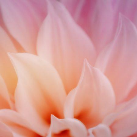 pink flower macro photography